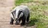 9Q6A9506 (2) (Alinbidford) Tags: alancurtis alinbidford badgercubs brandonmarsh nature wildlife
