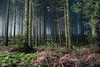 *** (Lee|Ratters) Tags: sony a7 voigtlander cv40 40mm f14 somerset moody spooky sunrise misty forest rowberrow warren woods
