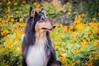 15/52 Leia & nasturtiums (shila009) Tags: dog leia perro roughcollie portrait spring retrato primavera orange yellow amarillo naranja flowers flores flor 1552 52weeksfordogs background profile perfil green verde capuchinas nasturtiums