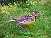 Western Meadowlark (Reva G) Tags: westernmeadowlark bird yellow birdwatching lark northvancouver northshore harbourside