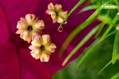Buganvilla (juapero) Tags: buganvilla macro nature naturaleza grancanaria canaryisland islascanarias juapero