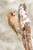 Northern Flicker (Kathrin Swoboda) Tags: northernflicker snow bird woodpecker feathers