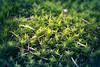 Mousse des bois (Kimoufli) Tags: vert green mousse végétal nikon sigma d5300 lightroom nature natural naturel plante macro micro proxy proxi macrophotographie microphotographie proxiphotographie détail couleur texture