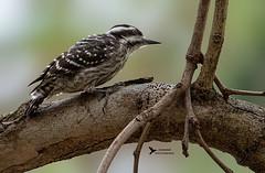 Sunda pygmy woodpecker (Kafoor Sammil) Tags: sunda pygmy woodpecker sundapygmywoodpecker pygmywoodpecker yungipicus moluccensis picidae natgeo natgeobirds natgeotravel natgeoyourshots natgeoyourshot singapore singaporebirds wildlife changi changibusinesspark