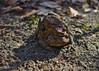 Female Toad carrying her husband (Japhile) Tags: bufo erdkröte kröte european toad rostock zoo