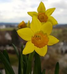 Schöne Oster Grüße (eagle1effi) Tags: mini narzissen blumentopf blumen flowers spring frühling frühlingsgrus spring1 ostern easter holiday fest