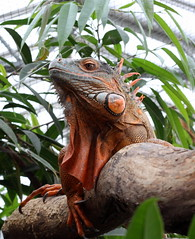 iguana (bugman11) Tags: leguaan iguana reptile reptiles lizard lizards nature macro fauna canon 50mm18stm animal animals nederland vlindersaandevliet leidschendam thenetherlands 1001nightsmagiccity 1001nights 1001nightsmagicpeacock platinumheartaward contactgroups