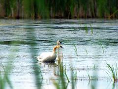 Swans (michaeldantesalazar) Tags: nature swan swans birds waterfowl water fowl wetlands manitoba canada hecla park travel summer