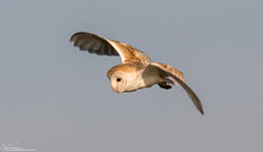 Barn Owl hunting the dunes (Steve (Hooky) Waddingham) Tags: animal countryside coast bird british barn nature northumberland mice morning voles prey photography wild wildlife owl flight hunting