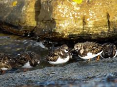 Vuelvepiedras / Turnstone / Arenaria interpres (Zuritxuu) Tags: bird nikon p900 jaizkibel river