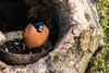 Au jardin (Ariège) (PierreG_09) Tags: ariège pyrénées pirineos couserans faune oiseau seix jardin midipyrénées occitanie bouvreuilpivoine pyrrhulapyrrhula eurasianbullfinch passériformes fringillidés gimpel camachuelocomún