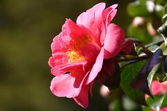Camellia (Manoo Mistry) Tags: nikon nikond5500 tamron tamron18270mmzoomlens flowers spring blossoms blossams plants cam camellia pinkcamellia
