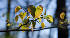 IMG_0006 Morning in the Sun (oldimageshoppe) Tags: leaves redbud new backlight sidelight morningsun spring