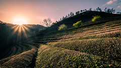 Boseong Green Tea Field - South Korea - Travel photography (Giuseppe Milo (www.pixael.com)) Tags: countryside light composition landscape sunset travel nature boseong southkorea greentea green trees hill tea field jeollanamdo kr onsale