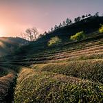 Boseong Green Tea Field - South Korea - Travel photography thumbnail