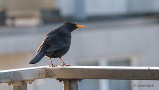 Besuch auf dem Balkon von einer Amsel