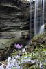 Phacelia bipinnatifida, Overton County, Tennessee (Chuck Sutherland) Tags: tennessee honeybranch overtoncounty tn falls waterfall longexposure softwater stream creek river water fernleafphacelia spottedphacelia phacelia purple wildflower flower