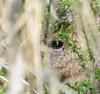 Sneek Peek. (Omygodtom) Tags: dusk eye oaksbottom wildlife nikon70300mmvrlens d7100 composition interestingness flickriver spy