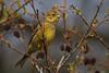 trznadel // Emberiza citrinella (stempel*) Tags: polska poland polen polonia gambezia pentax k30 emberiza citrinella trznadel ptak bird bigma