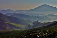Cameron Highlands - Boh Tea Plantation 9 (luco*) Tags: malaisie malaysia cameron highlands boh tea plantation thé matin morning montagnes montagne hills collines