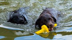 DSCF6266 (bc-schulte) Tags: labrador wasser water schwarz black spielen schwimmen hund dog tier