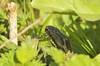 Adder (Prank F) Tags: kettonquarry lrwt wildlifetrust ketton rutland uk wildlife nature reptile snake adder viper
