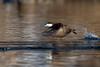 Ruddy Duck-47674.jpg (Mully410 * Images) Tags: avian birding birdsinflight coonrapidsdam ruddyduck bird birds birder birdwatching duck waterfowl mississippinationalriverrecreationarea nationalpark