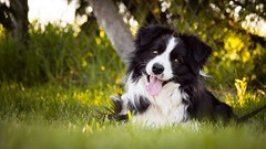 Curious look (zola.kovacsh) Tags: outdoor animal pet dog agility course training meadow grass border collie littledoglaughedstories