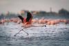 Flamencos en Mar Chiquita (Marcos Lozadam63) Tags: pajaros marchiquita flamencos vuelo tomar