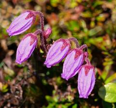 Purple mountain-heath (Arnt Kvinnesland) Tags: phyllodocecaerulea purplemountainheath hardangervidda dyranut norway blålyng lyng fjellflora høyfjell