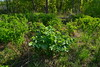 Lazer trilobium (МирославСтаменов) Tags: russia zhiguli mogutova apiaceae lazer plant meadow greenery