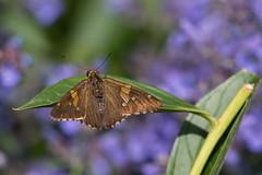 Butterfly (gdajewski) Tags: d750 dajewski nikkor200500mmf56 nikonafsnikkor200500mmf56eedvr nikond750 olanahistoricsite butterfly gdajewski