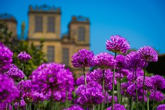 In bloom (Phil-Gregory) Tags: hardwickhall statelyhome bolsover derbyshire castle flowers purple nikon sigma18250macro zoom superzoom summer sunshine scenicsnotjustlandscapes colour color