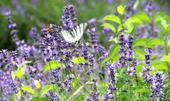 Lavender field, Tihany, Hungary (sovcsil) Tags: lavender