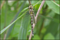 Southern Hawker (Full Moon Images) Tags: woodwalton fen greatfen bcn wildlife trust nnr national nature reserve cambridgeshire insect macro southern hawker dragonfly