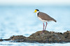 Masked Lapwing (ornithphotography) Tags: masked lapwing vanellus miles wynnum queensland australia bird animal wildlife nature plover spur winged ocean sea rock