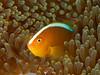 Orange Anemonefish (oceanzam) Tags: macro fish anemone nemo water underwater scuba diving diver ocean sea shore shoreline light dark shadow color colorful orange aquatic marine travel holiday nature philippines eye muck