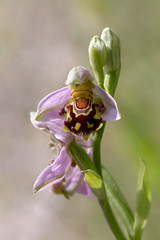 Bee Orchid (chaz jackson) Tags: beeorchid ophrysapifera orchidaceae orchid bee flower macro uk nature