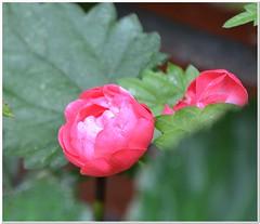 Rosie (MaxUndFriedel) Tags: garden rose thefairy pink flower blossom