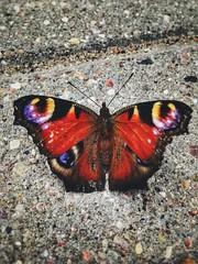 Butterfly on the way (basiamarcisz) Tags: nature przyroda beauty natura butterfly motyl