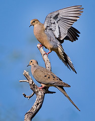 Mourning Doves (Eric Gofreed) Tags: arizona dove mourningdove santacruzcounty