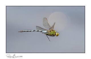 Emperor of the Sun - Emperor Dragonfly (Anax imperator) in flight