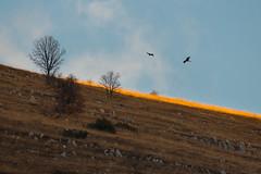 Don't fly away (luigig75) Tags: birds birdsofprey rapaci falchi hawks abruzzo mountains appennino appennini trees sunset italia italy tamronsp150600mmf563divcusd canon 70d
