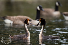_DSC6563 (Bartek Olszewski) Tags: grebe birds ducks nature nikon nikond4s natureperfectionthernature perkoz wildlifephotography water