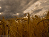 tramonto a Nord Est (Valeria Santacaterina) Tags: sunset tramonto sky cielo land terra landscape clouds nuvole fields grano cereals gold oro sun sole rays raggi