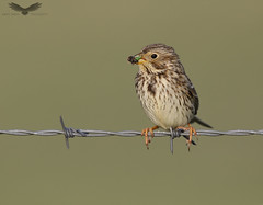 Corn bunting (Andy Davis Photography) Tags: emberizacalandra gealagbhuachair perched meal singing bunting evening canon