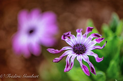 Dancing (frederic.gombert) Tags: flower flowers pink light color colors sun macro bloom blossom garden daisy red green