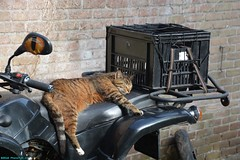Neelix the Cat on my ATV. (PhotoTJH) Tags: phototjh mackerel pattern makreel patroon tabby cat kat kater feline european shorthair europese korthaar cyperse cyper grijs grey neelix animal pet huisdier phototjhnl eye oog nose neus quad atv allterrainvehicle road legal weg legaal zwart black egl eglmotor lyda lyda203e1 lyda203e2 203 203e1 203e2 motorpromo 4stroke china chinese