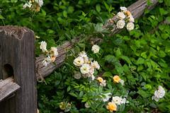 Roses on Fence (BRB1952) Tags: omzuiko75150mm universityofmichigan annarbor nicholsarboretum adaptedlens roses michigan