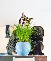 Cat grass mania (WillemijnB) Tags: cat grass mani gekte crazy face portrait tabby europeanshorthair europese korthaar pot potted plant